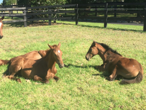 These weanlings are enjoying the sun. Lustre Lodge does not charge weanling fees for permanent mares
